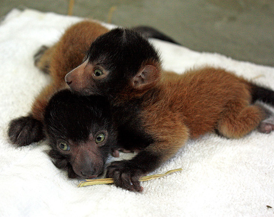 Cleveland-red-ruffed-lemurs-2