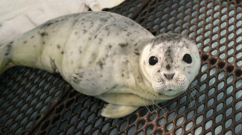 Merlot the baby seal pup at Alaska SeaLife Center 2