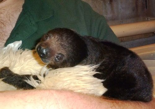 Sid-the-baby-sloth-2