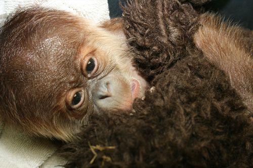 Sedgwick_county_zoo_orangutan-4