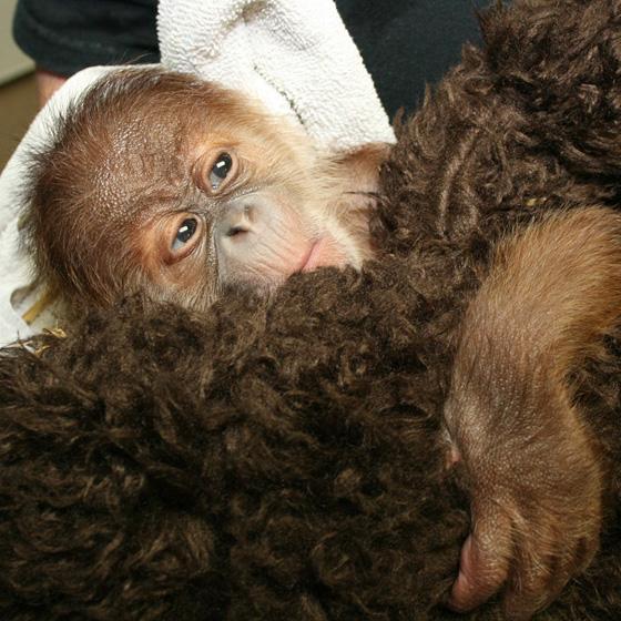 Sedgwick_county_zoo_orangutan-7