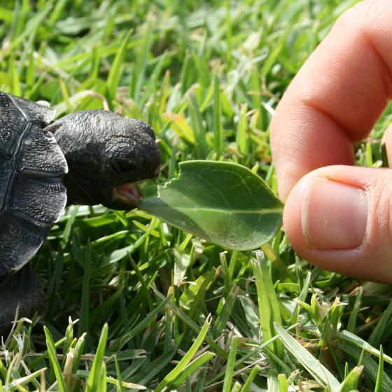 Galapagos-Tortoise-hatchling-20.5.10-011CROP