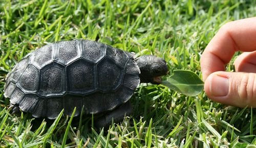 Galapagos-Tortoise-hatchling-20.5.10-011CROPnozoom
