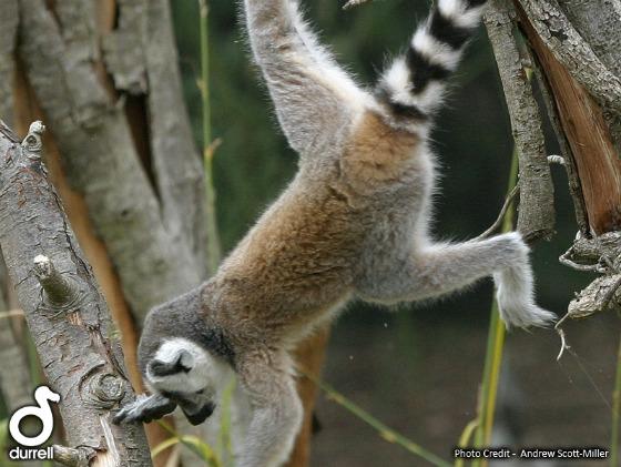 Baby lemursll11 web