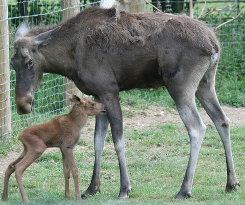 Moose_nudge_mother web