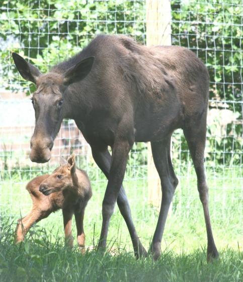 Moose_mum_calf web