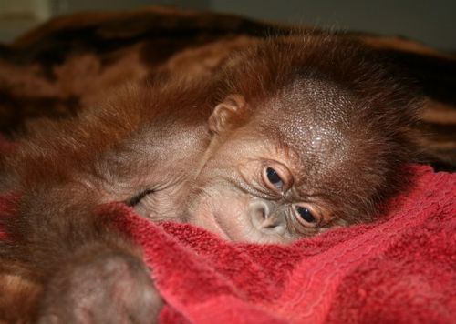 Baby orangutan napping at Sedgwick County Zoo_picnik