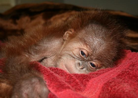 Baby orangutan napping at Sedgwick County Zoo_picnik