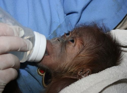 Baby orangutan eating at Sedgwick County Zoo_picnik