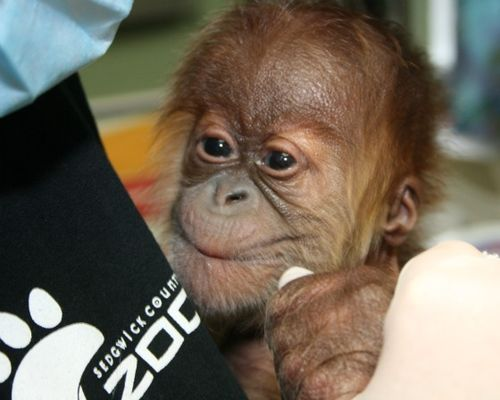 Baby orangutan smiling at Sedgwick County Zoo_picnik