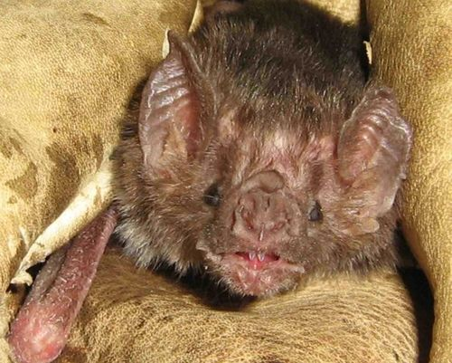 Philly Zoo Vampire Bat crop