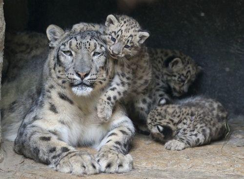 Snow Leopards Zoo Basel Climb on Mom 1