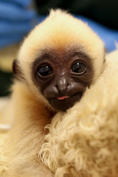 Gibbon-PerthZoo17