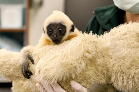Gibbon-PerthZoo8