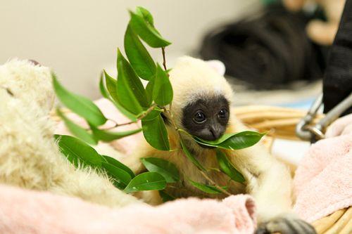 Gibbon-PerthZoo3