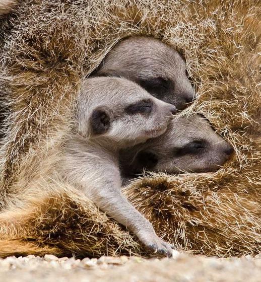 Meerkat CU
