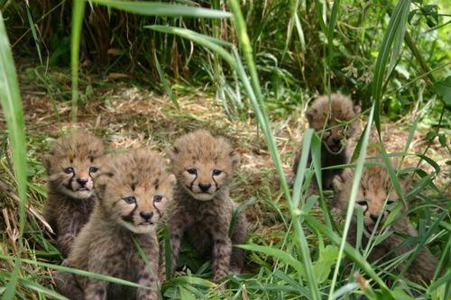 Better 5 cheetahs