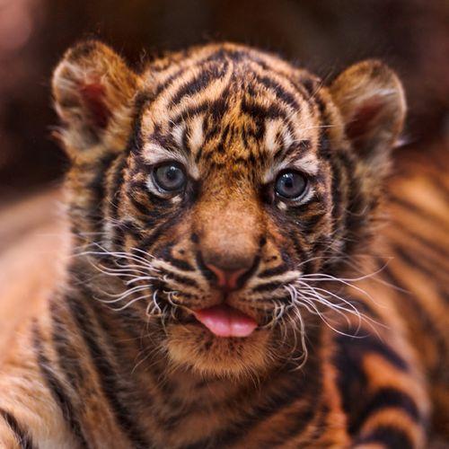 Frankfurt-Zoo-Tiger-Cubs--3
