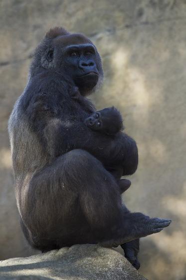 Gorilla_mom