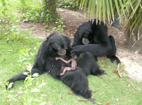 Siamang family