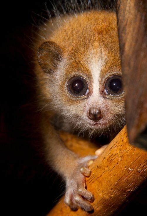 01-Baby-Pygmy-Slow-Loris