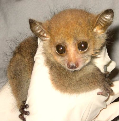 Greater Bushbabies from the Greater Bushbaby Research Center 2