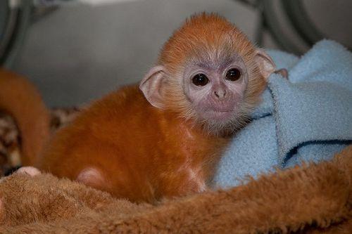 San Diego Zoo Silver Leaf Monkey 6