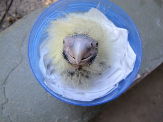 Cockatoo_2
