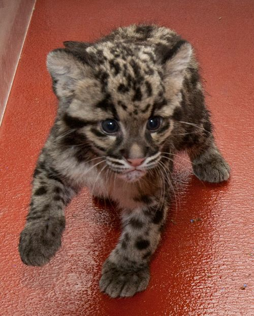 National-Zoo-Clouded-Leopard-Cub-4