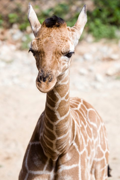 Zoo-Atlanta-Giraffe-Calf-1