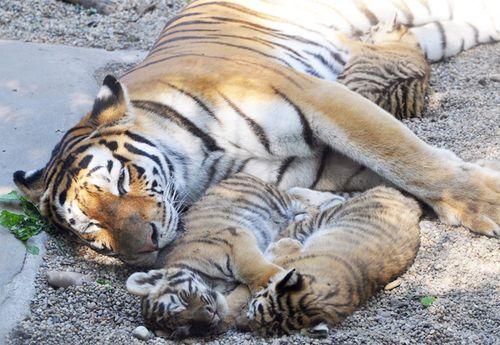 Sziberiai-tigris01-foto-Bagosi-Zoltan
