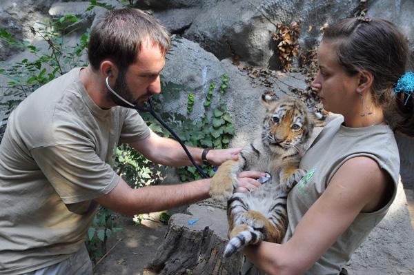 Tigrisvakcinazas01-foto-Bagosi-Zoltan