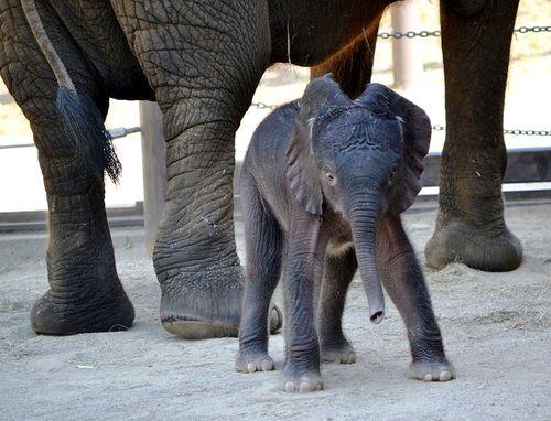 Elephant baby3-7-11-Gabi Moore-rev
