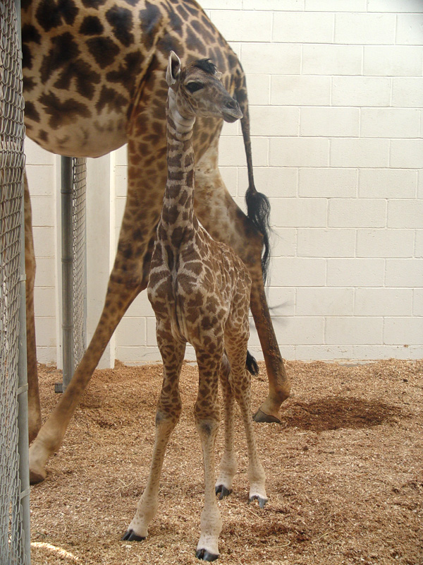 Virginia-Zoo-Giraffe-Baby2