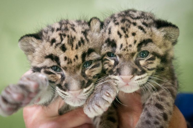 Point Defiance Zoo Leopard Update 14