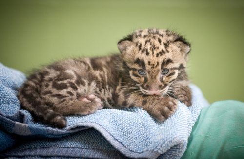 Point Defiance Zoo Leopard Update 15