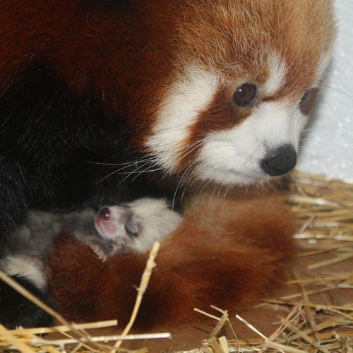 Mom-&-Baby-Red-Panda
