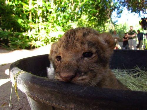 Reid-Park-Zoo-Lion-Cubs5