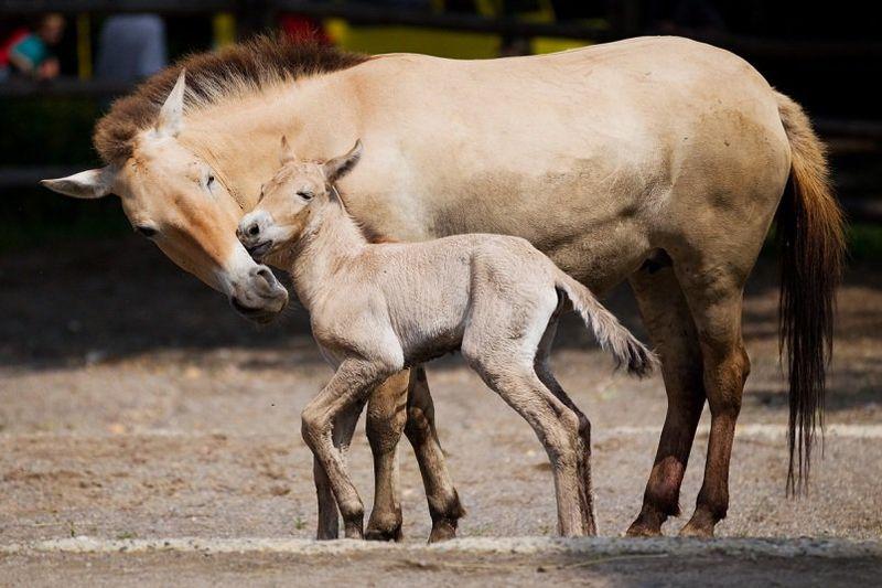 Przewalski's Horse - Prague 5