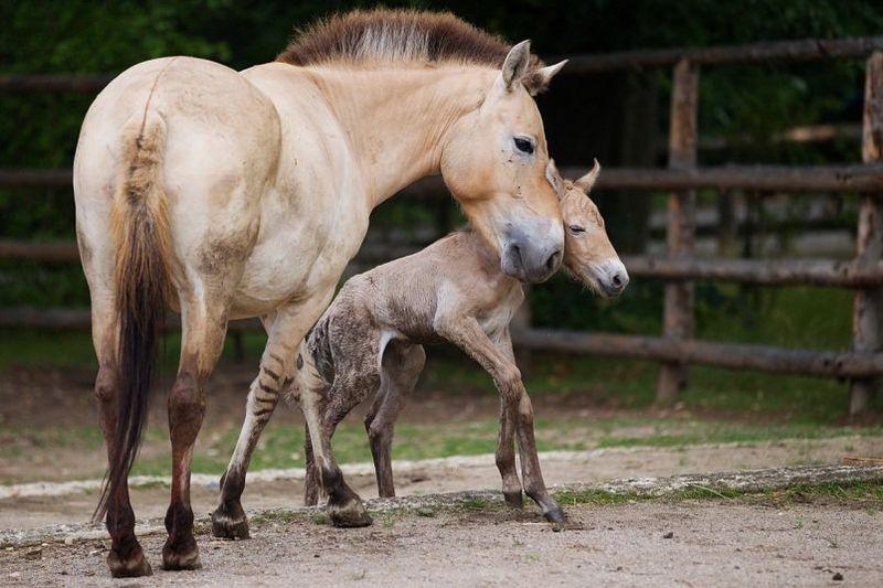 Przewalski's Horse - Prague 4