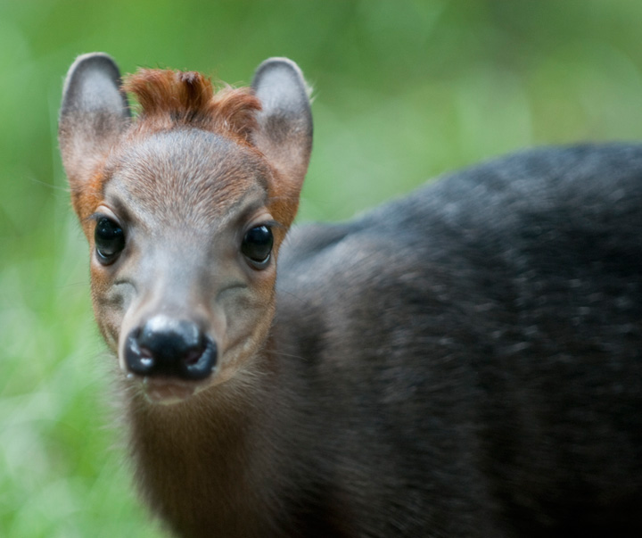 Duiker-baby---G.-Jones,-Columbus-Zoo-and-Aquarium