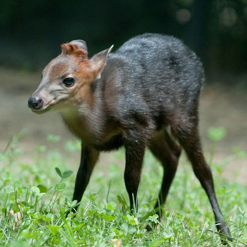 Duiker-baby---G.-Jones,-Columbus-Zoo-and-Aquarium-4