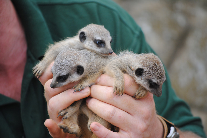 Meerkat-babies-2---(c)-Sam-Harwood---please-credit-when-used
