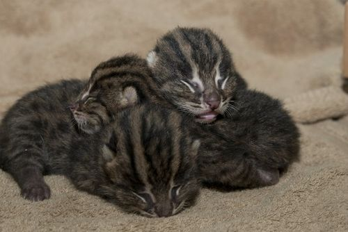 Fishing Cat Kittens 03 - G. Jones, Columbus Zoo and Aquarium