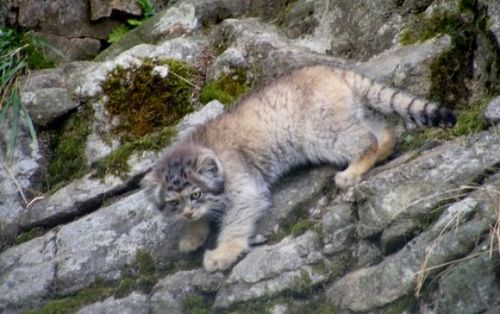 Pallas's Cat Kittens 2