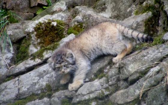 Pallas's Cat Kittens 2