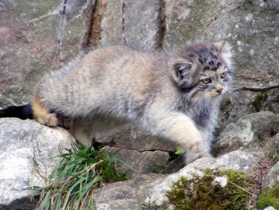 Pallas's Cat Kittens