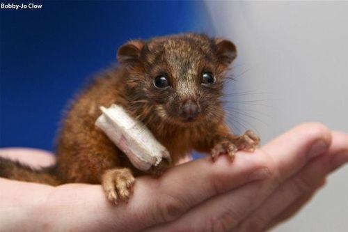 Baby Ringtail Possum - Swiss - Taronga Zoo