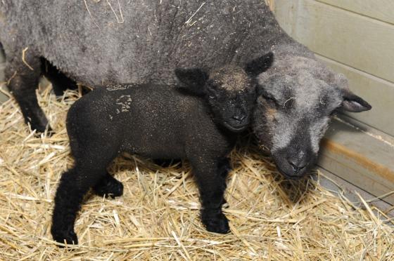 Mom & Lamb