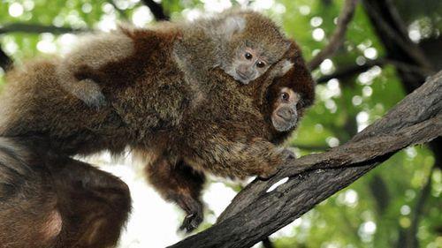 Baby-titi-monkey